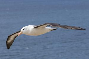 Black-Browed Albatross or Mollymawk, Flight Shot. Falkland Islands by Martin Zwick