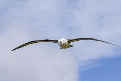 Black-Browed Albatross or Mollymawk, Flight Shot. Falkland Islands