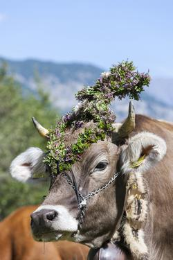 Cow Decorated with Flowers and Ceremonial Bells, South Tyrol, Italy by Martin Zwick
