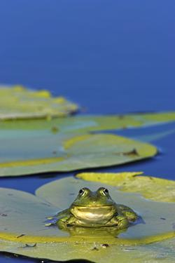 Edible Frog in the Danube Delta Sitting on Leaf of Water Lily, Romania by Martin Zwick
