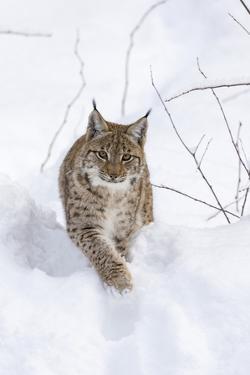 Eurasian Lynx During Winter in National Park Bavarian Forest. Bavaria, Germany by Martin Zwick