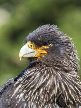 Falkland Caracara or Johnny Rook, protected and highly intelligent bird of prey. Falkland Islands by Martin Zwick