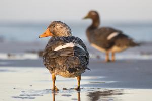 Falkland Flightless Steamer Duck. Male and Female. Falkland Islands by Martin Zwick