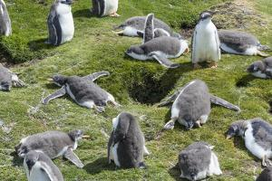 Falkland Islands, Gentoo Penguin Chicks Forming a Creche by Martin Zwick