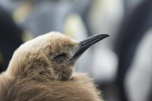 Falkland Islands. King Penguin Chick in Typical Brown Plumage by Martin Zwick