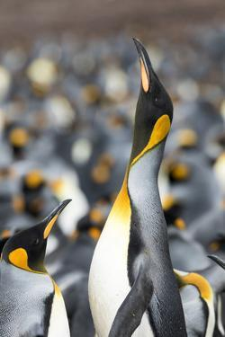 Falkland Islands, South Atlantic. King Penguin Trumpeting by Martin Zwick