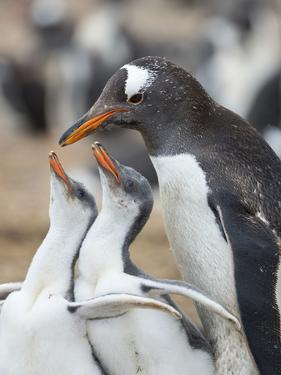 Feeding of chick. Gentoo penguin on the Falkland Islands. by Martin Zwick