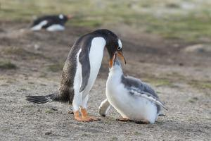 Gentoo Penguin Chick Being Fed by Parent on the Falkland Islands by Martin Zwick