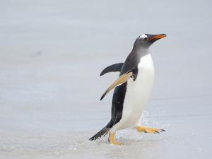 Gentoo penguin coming ashore on a sandy beach in the Falkland Islands in January. by Martin Zwick