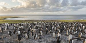 Gentoo Penguin Falkland Islands. Colony. by Martin Zwick