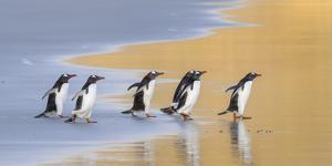 Gentoo Penguin Falkland Islands. by Martin Zwick