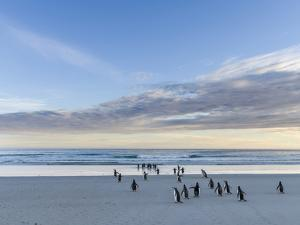 Gentoo penguin on a sandy beach in the Falkland Islands in January. by Martin Zwick