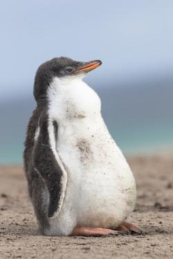 Gentoo Penguin on the Falkland Islands, Half Grown Chicks by Martin Zwick