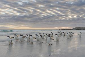 Gentoo Penguin on the sandy beach of Volunteer Point, Falkland Islands by Martin Zwick