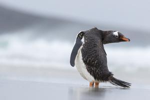 Gentoo Penguin (Pygoscelis Papua) on the Falkland Islands by Martin Zwick