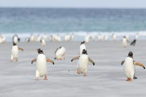 Gentoo Penguin Walking to their Rookery, Falkland Islands by Martin Zwick