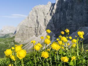 Globeflower, Karwendel Mountain Range, Austria by Martin Zwick