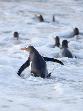 Going to the sea on a beach. Gentoo Penguin in the Falkland Islands in January. by Martin Zwick