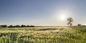 Grain Field In The Usedomer Schweiz, Island Of Usedom. Germany by Martin Zwick