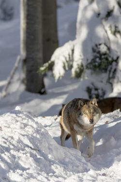 Gray Wolf During Winter in National Park Bavarian Forest. Bavaria, Germany by Martin Zwick