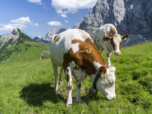 Grazing Cattle, Tyrol, Austria by Martin Zwick