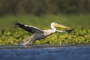 Great White Pelican Bird in the Danube Delta, Europe, Romania by Martin Zwick