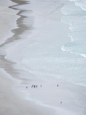 Group on empty beach. Magellanic Penguin, Falkland Islands. by Martin Zwick