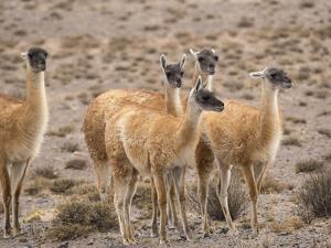 Guanaco (Lama guanicoe), National Park Los Cardones near Cachi. Argentina by Martin Zwick