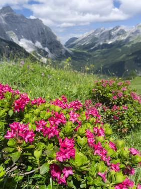 Hairy Alpenrose in the Karwendel Mountains, Austria by Martin Zwick