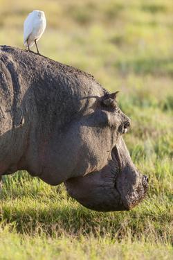 Hippopotamus Grazing, Amboseli National Park, Kenya by Martin Zwick