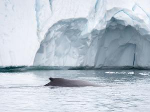Humpback whale in front of icebergs at the mouth of the Ilulissat Icefjord at Disko Bay, Greenland. by Martin Zwick