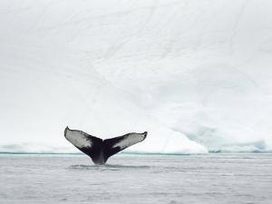 Humpback whale  in front of icebergs at the mouth of the Ilulissat Icefjord at Disko Bay, Greenland by Martin Zwick