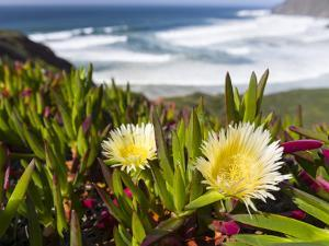 Ice plant at the Costa Vicentina, Algarve, Portugal by Martin Zwick