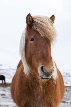 Icelandic Horse During Winter with Typical Winter Coat, Iceland by Martin Zwick