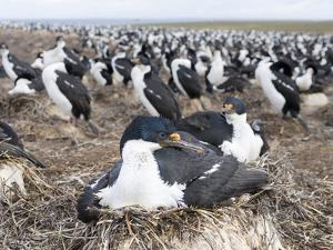 Imperial Shag also Called King Shag in a Huge Rookery by Martin Zwick