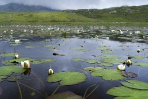 Isle of Lewis, European White Water Lily in Pond. Scotland by Martin Zwick