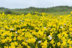 Isle of Lewis, Machair with Birds Foot Trefoil, Scotland by Martin Zwick