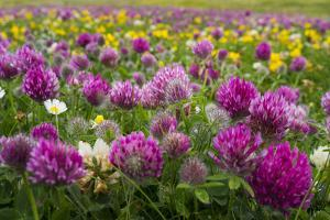 Isle of Lewis, Machair with Red Clover (Trifolium Pratense). Scotland by Martin Zwick