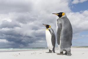 King Penguin (Aptenodytes patagonicus) on the Falkland Islands in the South Atlantic. by Martin Zwick
