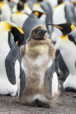 King Penguin, Falkland Islands. Chick Loosing Typical Brown Plumage by Martin Zwick