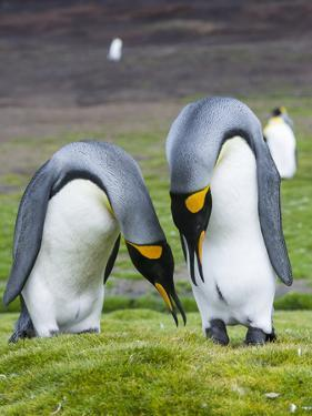 King Penguin, Falkland Islands, South Atlantic. Courtship Display by Martin Zwick