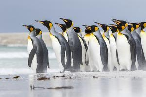 King Penguin, Falkland Islands, South Atlantic. Group of penguins marching by Martin Zwick