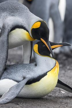 King Penguin, Falkland Islands, South Atlantic. Mating by Martin Zwick