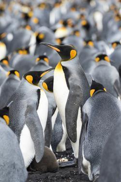 King Penguin, Falkland Islands, South Atlantic by Martin Zwick