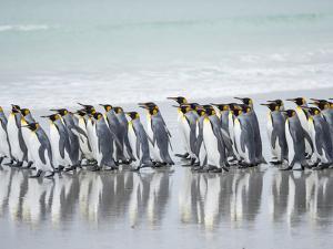 King Penguin, Falkland Islands. by Martin Zwick