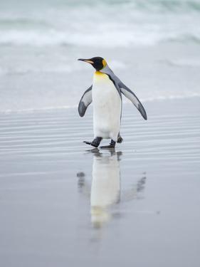 King Penguin on Falkland Islands. by Martin Zwick