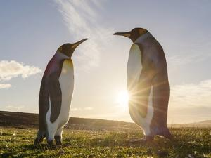 King Penguin on the Falkland Islands in the South Atlantic. Courtship display. by Martin Zwick