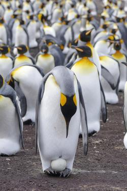 King Penguin on the Falkland Islands in the South Atlantic. Incubating egg on feet. by Martin Zwick