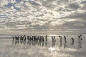 King Penguin on the Falkland Islands in the South Atlantic. by Martin Zwick