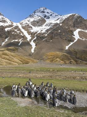 King Penguin on the island of South Georgia, rookery in Fortuna Bay. Adults molting. by Martin Zwick